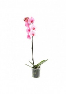 Phalaenopsis Melange 1 Tige...