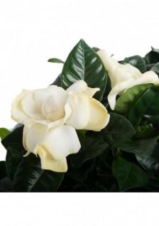 Gardenia Jasminoides D13