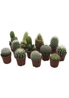 Cactus Melange D5.5