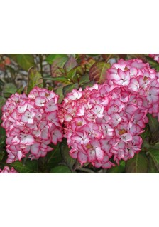Hydrangea Macrophylla D14