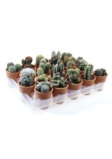 Cactus varies Giro